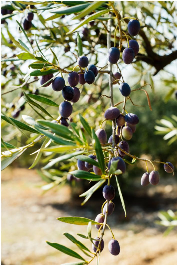 収穫される前のオリーブの実。