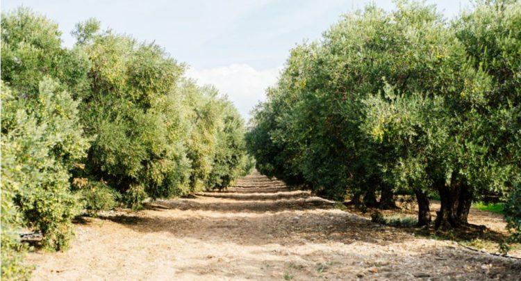 オリーブ畑の真ん中に道がまっすぐ続き、道沿いにはたくさんのオリーブの木が立ち並んでいる。