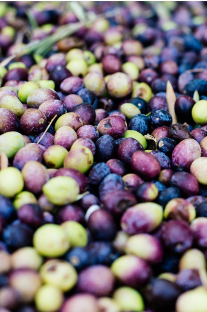 収穫されたばかりのオリーブの実。