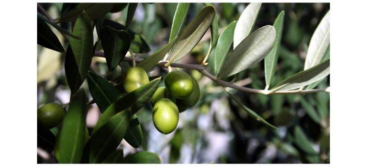 早期収穫の緑色のオリーブの実