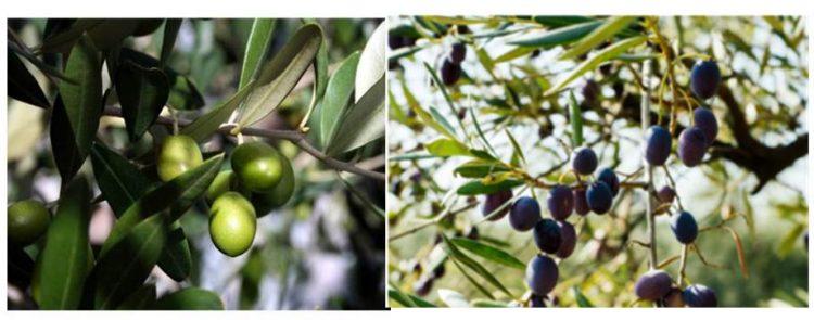 オリーブの実は初めは明るい緑色をしていますが、時間が経つにつれて熟していき、赤茶色→紫色→黒色と変化していきます。